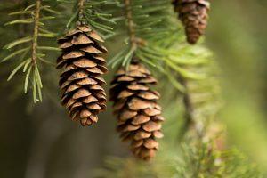 are pinecones edible?